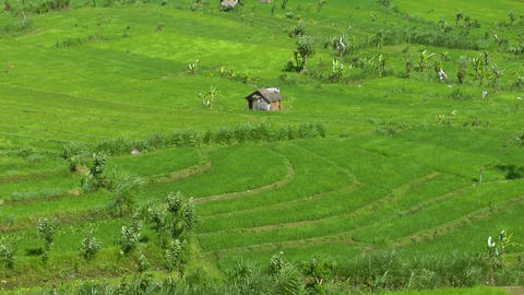 Wind blows across a lush green field of a terraced rice farm Footage