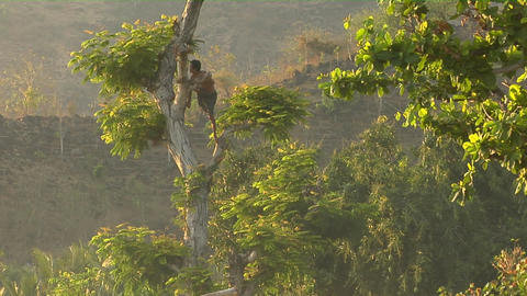 A man with a machete climbs a tree to cut branches Footage