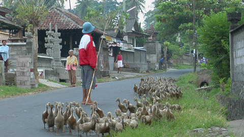 A man herds a gaggle of geese down a road in a small village Footage