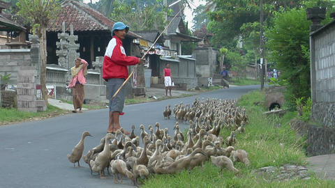 A man herds a gaggle of geese down a road in a small village Stock Video Footage