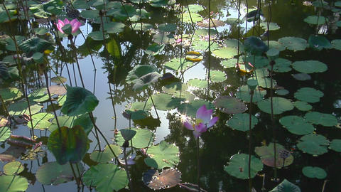 Water lilies and lily pads float in a pond Footage