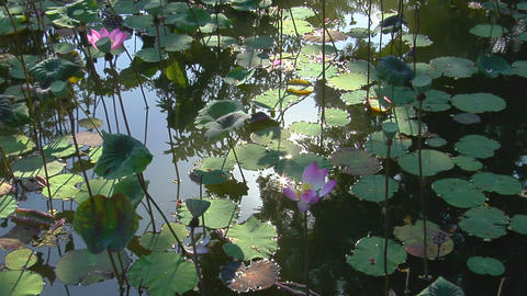 Water lilies and lily pads float in a pond Stock Video Footage