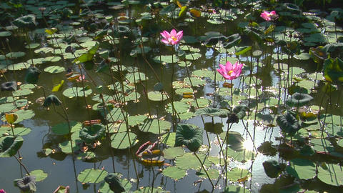 The sun reflects on a pond through lily pads and through lotus blossoms Footage