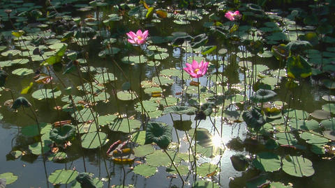 The sun reflects on a pond through lily pads and through... Stock Video Footage