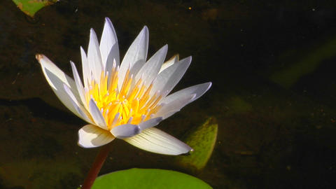 The white petals of a water lily extend from the yellow center Footage