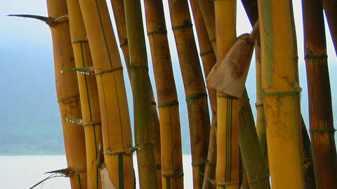 A stand of bamboo with a scenic lake in the distance Stock Video Footage