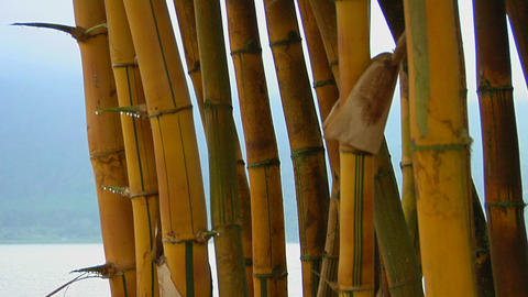 A stand of bamboo with a scenic lake in the distance Footage