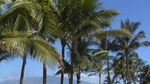 Pan across beautiful palms which line a tropical beach in Hawaii Footage