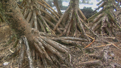 A slow pan across the roots of mangrove trees with the... Stock Video Footage