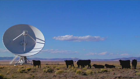 A satellite dish sits amongst cows in a desolate field Live Action