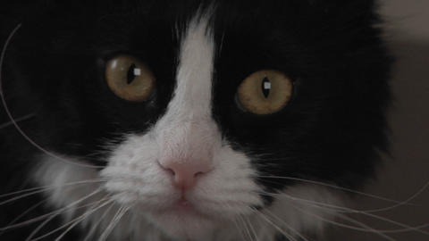 A black and white cat watches intently Stock Video Footage