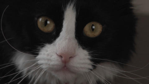 A black and white cat watches intently Footage