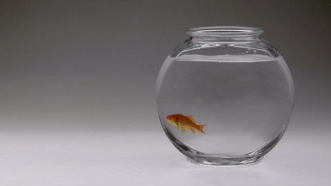 A goldfish is dropped into a fish bowl Footage