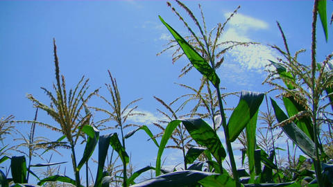Corn stalks sway in the breeze Stock Video Footage
