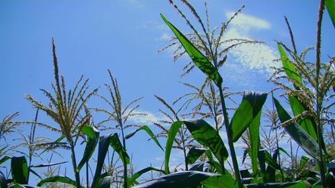 Corn stalks sway in the breeze Footage