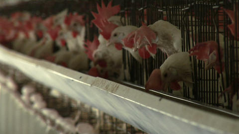 Hens peck at feed in a trough Stock Video Footage