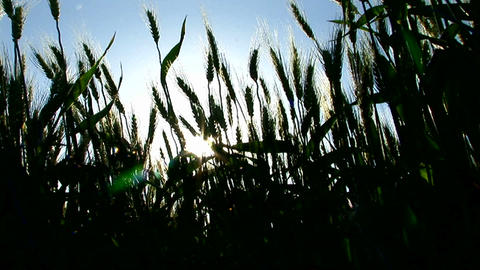 The silhouette of a wheat field sways in the wind Stock Video Footage