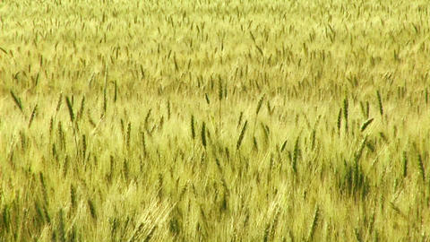 A wheat field waves in the breeze Footage
