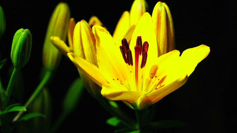 A yellow flower opens Footage