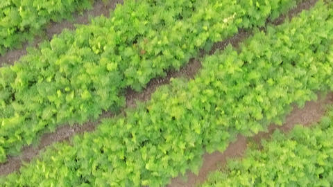 Flight over the beds of carrots and onions. bird's-eye view Live Action