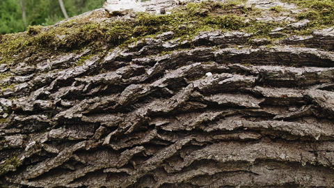 Embossed tree bark texture with green moss and lichen on it. Old tree Live Action