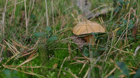 The edible mushroom Suillus bovinus. The mushroom grows among moss in a forest glade Live Action