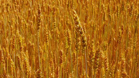 1080p Sliding Forward Over Field of Ripe Golden Wheat Footage