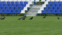 4K Ungraded: Crows Sitting on Green Lawn of Empty Football Field With Blue Footage