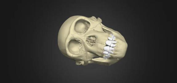 Bonobo Skull 3D Model