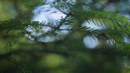 Close-up dolly shot of spruce tree branches Footage