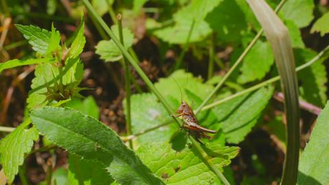 grasshopper on grass Footage