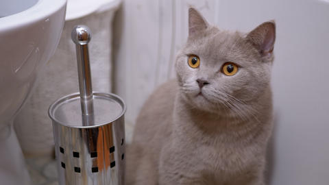 British Purebred Cat, Sitting in Toilet and Watching Movement of An Object Live Action