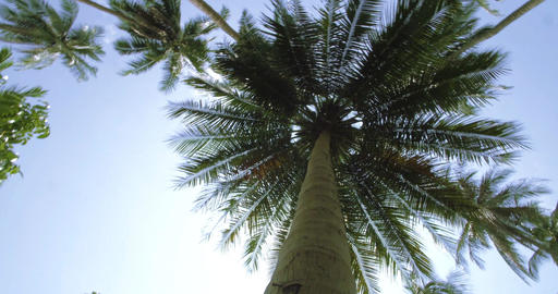 Exotic palm tree in the Jungle. Tracking shot around the Palm tree ビデオ
