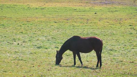 Thoroughbred Horses in Niikappu,Hokkaido,Japan,Filmed in 4K Footage