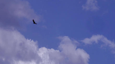 A lone male bald eagle soars above in a bright blue cloudy sky Footage