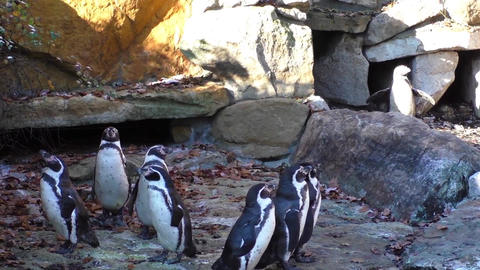 A small group of penguins on the rocks background Live Action