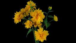 Blooming yellow bush flower Footage