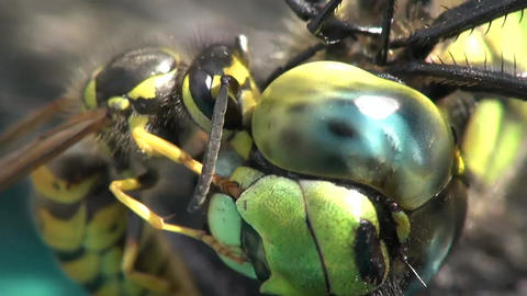 Close-up of a wasp eating a dragonfly Footage
