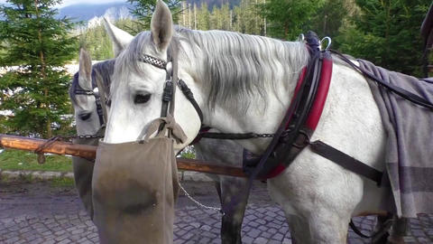 Hungry horse eats oats from bag after the carriage ride Live Action