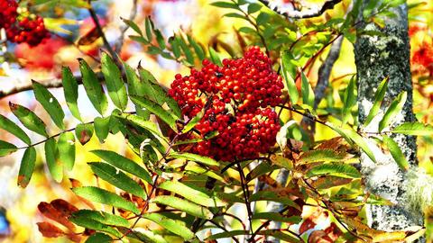 Wild rowan berries on tree Footage