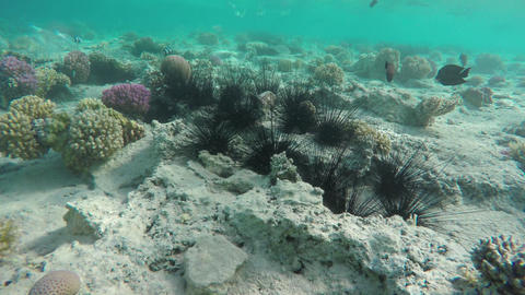 Sea urchin under water among corals in Red Sea Footage