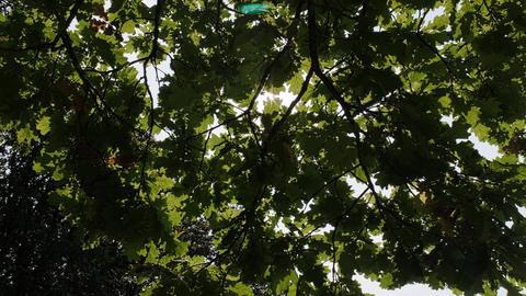 The sun's rays shine through the dense green foliage of the oak. Sun glare Live Action