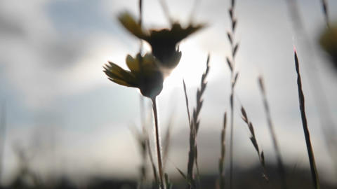 Dandelions are being blown around in the wind Stock Video Footage