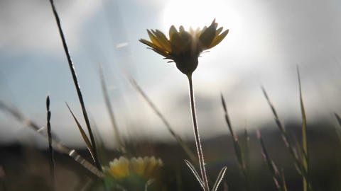 Dandelions are blown around in the wind Stock Video Footage