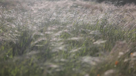 Strong winds blow through a field of tall grass Footage
