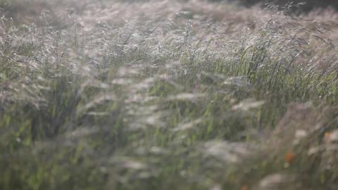 Strong winds blow through a field of tall grass Footage