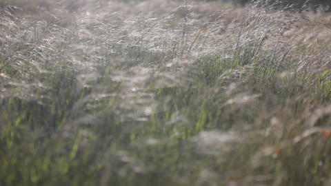 Strong winds blow through a field of tall grass Stock Video Footage