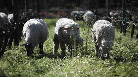 A flock of sheep are grazing in a pen Stock Video Footage
