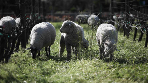 A flock of sheep are grazing in a pen Footage