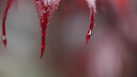 Drops of water fall from the red leaves of a plant Stock Video Footage